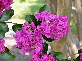 25 Zuni Crepe Myrtle Seeds - Lagerstroemia Indica 'Zuni'