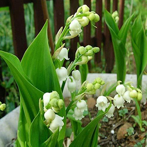 200 pcs/sac Muguet Graines de fleurs de Bell Orchid Seeds Rich Aroma Bonsai Balcon fleurs pour la maison Plantes en pot gris clair