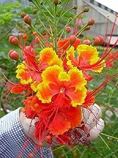 【種子】Caesalpinia Pulcherrima ★カエサルピニア・プルケリマ◎オウコチョウ/黄紅蝶/ジャケツイバラ科常緑小高木◆5粒♪