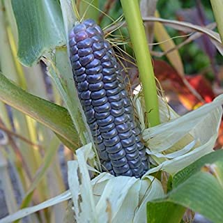 Blue Jade Corn Seeds - 5+ Rare Seeds in FROZEN SEED CAPSULES for The Gardener & Rare Seeds Collector - Plant Seeds Now or Save Seeds for Years