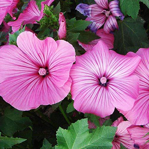 Malve Rose Mallowa Samen 10+ (Lavatera arbore) Mischung (Pink, Weiß) Kräutersamen Stockrose Blume Hochwertige Samen für Hausgarten Outdoor Yard Farm Planting