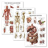 3 Pack - Muscle + Skeleton + Digestive System Anatomy Poster Set - Muscular and Skeletal System Anatomical Charts - Laminated - 18' x 27'