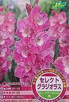 【花球根】 セレクト グラジオラス ピンクパーロット 5球入 カネコ種苗の球根
