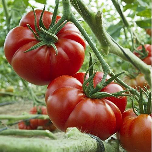 Tomate ''Sweet Marmande'' 10 Samen -Frühreif-
