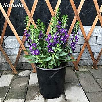 VISTARIC 23: Japon Bonsai Annona Corossol Graine Heirloom Annona Graine de plantes en pot Juicy Fruit Succulent Graine Rare Outdoor vivace Arbre 5 Pc 23