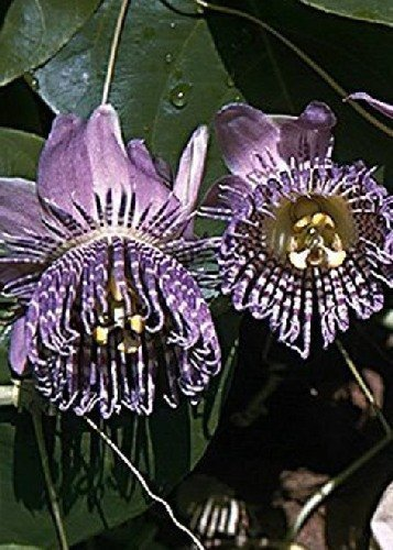 TROPICA - Süße Granadilla (Passiflora ligularis) - 20 Samen