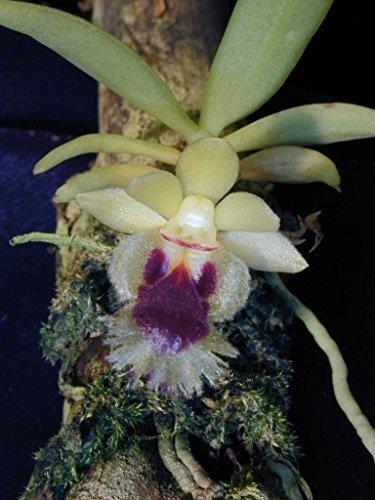 Andy`s Orchids - Haraella odorata - Orchid Plant - Miniature - Fragrant - Easy-Grower - Vivarium - Terrarium - Indigenous to Taiwan