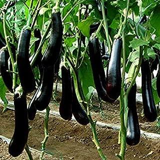 Semillas de hortalizas Berenjena Larga de Semillas 100 Semillas ...