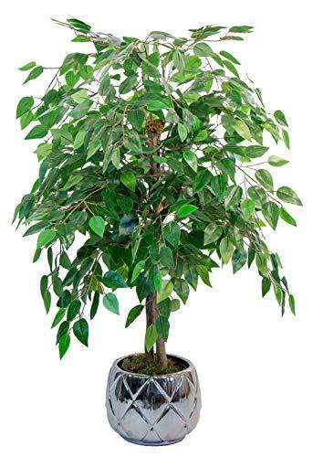 Maia Shop Ficus Troncos Naturales