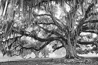 Linda March Art Original Limited Edition Magestic Oak Covered in Spanish Moss Black and White Photograph with Certificate of Authenticity (20x30)