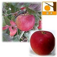 リンゴ2種受粉樹セット:ふじ(富士)と紅玉(こうぎょく)[苗木]