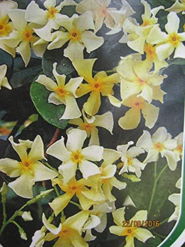 Trachelospermum asiaticum Mandanianum - asiatischer Sternjasmin