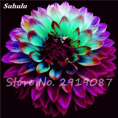 50 Pcs rares Graines Bonsai Dahlia (non Dahlia Bulbes) Mixte magnifique Fleurs chinois Balcon Plante en pot Maison et jardin 18