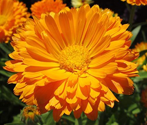 100 graines de calendula Orange King King Pot souci - 100 graines