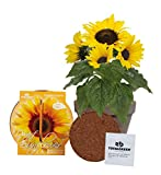 Quality Sunflower Grow Kit | Grow Your Own Dwarf Sunflower from Seed...