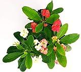 EUPHORBIA VULCANA SET 3 COLORI, spina di cristo, piante vere
