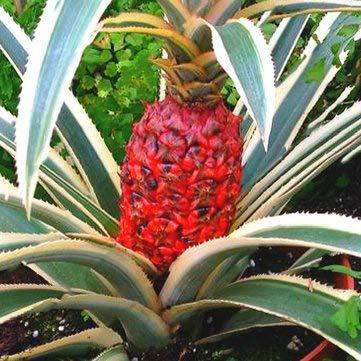 DaDago 100 Unids/Bolsa Semillas De Piña Plantas De Piña Enana Árbol Fruta Rare Bonsais Planta Bonsai para Decoración del Jardín del Hogar-Rojo
