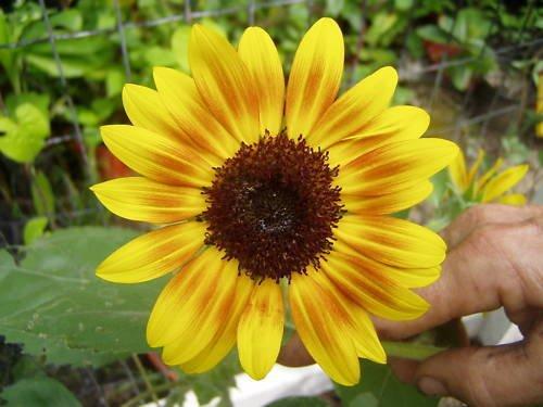 SONNE orange Mahagoni 15 Samen