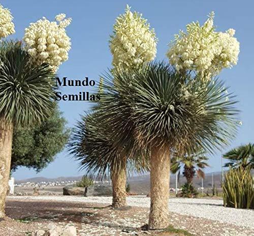 CROSO HOCH KEIMUNG Seeds Nicht NUR Pflanzen: Yucca Rostrata - Spektakuläre Blüte - 20 Fresh Seeds