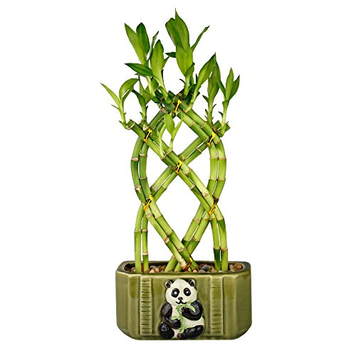 Live Lucky Bamboo Braided Arrangement with Green Ceramic Panda Pot - Lucky Stalks Indoor House Plant for Good Luck, Fortune, Feng Shui and Zen Gardens