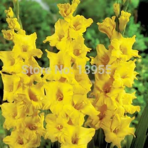 100pcs / sac Différentes graines vivaces Gladiolus fleurs rares Graines épée Lily Très Beautoful Pour jardin Plantation