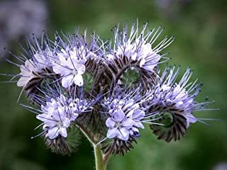 75+ Purple Lacy Fiddleneck Tansy Flower Seeds / Phacelia / Annual