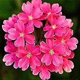 Flores Paisaje para cercas,Semillas de Flores perennes,Fácil de Plantar Flores en Four Seasons, Hermosas Flores de Cerezo-A_20Grain + Fertilizer