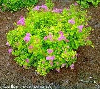 Goldmound Spirea Japonica - Live Plant - Quart Pot