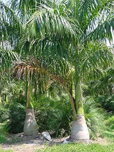 Kubanische Königspalme - 20 Samen -Roystonea regia - Palmensamen -