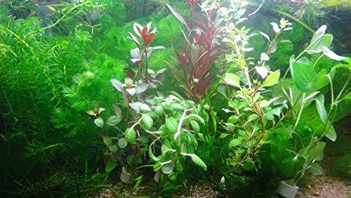 Aqua Plants 40 Plantas de Acuario en Vivo colección de Plantas acuáticas