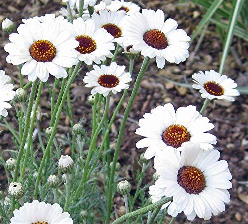 Yukio Samenhaus - 100pcs Selten Marokko-Kamille Bodendecker Ringblume, Schmetterlinge anziehen, pflegeleicht Blumensamen winterhart mehrjährig Zierde in Steingärten