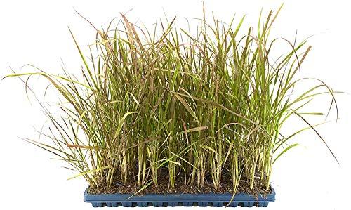 Red Fountain Grass - Pennisetum Setaceum Rubrum - 20 Live Plants - Blooming Ornamental Grass
