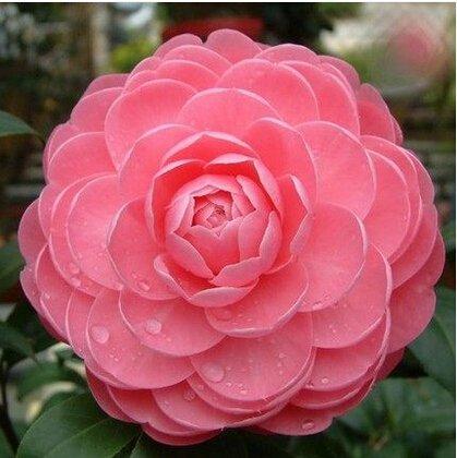 Big Sale! Plantes Blue Rose Fragrant Gardens Floraison Strong, Blue Dragon rose, Blue Rose Seeds 150 PCS / Pack, # 2AQBTP