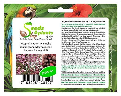 Stk - 4x Magnolia Baum Magnolie soulangeana Magnoliaceae hellrosa Samen #368 - Seeds Plants Shop Samenbank Pfullingen Patrik Ipsa