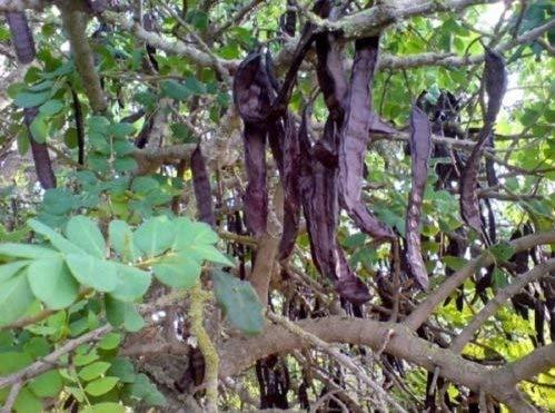vegherb Frische Carob Tree St John ES Bread - 12 Samen - Johannisbrotbaum - Zierbäume - Bonsai