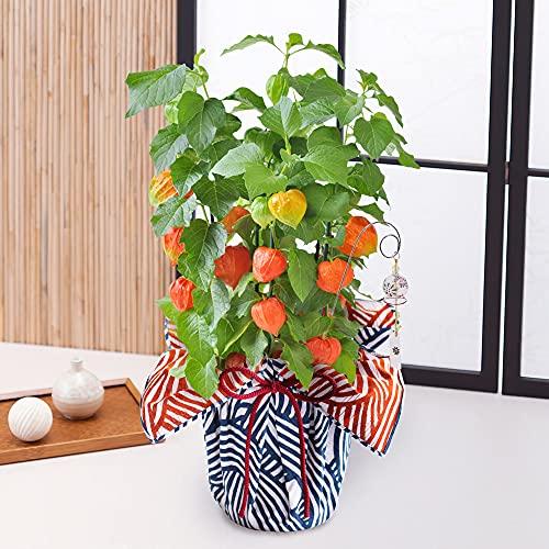 初夏の花 特集 [イイハナ・ドットコム]? ほおずきの鉢植え(5号) 「和モダン風呂敷包み」風鈴ピック付き フラワーギフト プレゼント