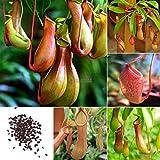 GETSO Graines Emballage: 20pcs: 20/50 Pcs Jardin Balcon Belles Graines Bonsai Graines Nepenthes Ok 01