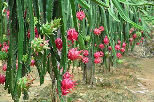 100 PCS Seeds Pitaya Bonsai Tree Plants Dragon Fruit Garden Red Meat Pitaya Seeds