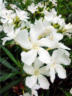 Nerium indicum Mill Fleur Nerium Oleander graines jardin Plantes ornementales Intéressant Bonsai Pots de fleurs Pots 50 Pcs 6