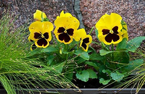 Pensée de jardin suisse - jaune avec un point