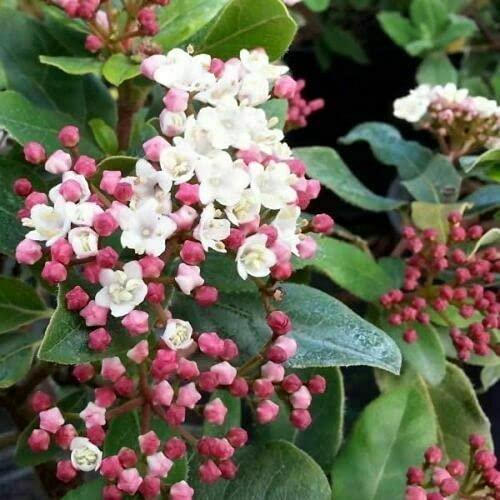 Viburno tino'Viburnum tinus Eve Price' 3 piante da siepe in vaso biodegradabile