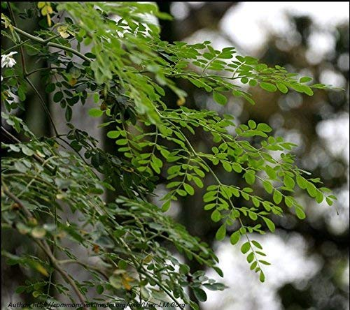 Moringa Baum Drumstick Baum (Moringa Oleifera) * 30?Samen *