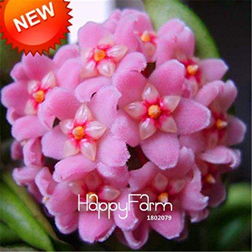 De nouvelles graines fraîches Hoya Graines, Hoya Carnosa fleurs en pot plantes de graines d'orchidées vivaces Plantation Seeds 100 Pièces / Pack # 11 IRJ4ZT