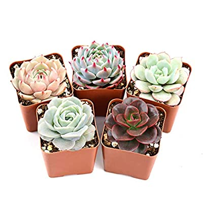 """The Next Gardener Succulent Plants, Assorted Rosette Succulents, Fully Rooted in 2"""" Planter Pots with Soil, Rare Varieties, Unique Real Live Indoor Succulents/Cactus D?cor ONLY by The Next Gardener"""