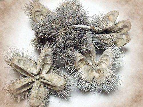 Steingässer Wildkastanie 5 Stück/ca. 6 cm/Natur oder weiß gefrosted/Nussfrucht/Kastanie Schale/exotische Früchte getrocknet/ (weiß gefrosted)