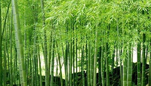 100 graines de bambou Moso Graines Phyllostachys pubescens géant bambou