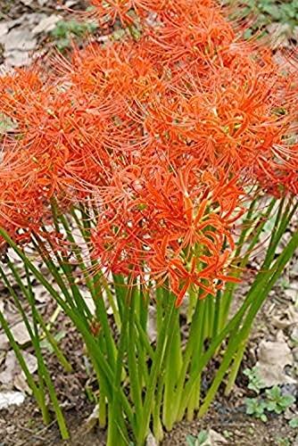 5 STÜCKE Orange Spinne Lily Lycoris Radiata Zwiebeln Schöne Blumen Helle Farbe Frisch Zwiebel Effizientes Pflanzen Im Freien Im Garten