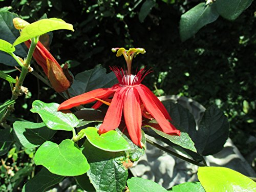 Scarlet passion flower: Passiflora coccinea (English Edition)