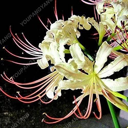 100 pcs Bonsai Lily Graines d'intérieur Plantes vivaces Lily Flower Seed Pure White Accueil Jardin Fleurs Plantes SEMENTES Livraison gratuite Brown