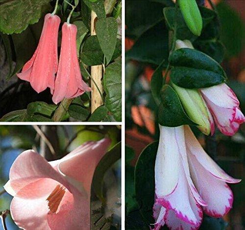 Nouveau Rare 50 Pcs / sac Bellflower chilien (Lapageria rosea) Graines, toujours à feuillage persistant, durable, ombre partielle, jardin fleuri jardin,